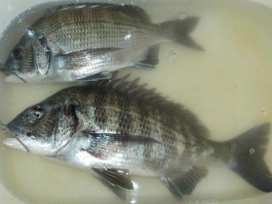 3月6日 磯釣りで陣内さん 満﨑さん チヌ43.3㎝を頭に4匹 ガラカブ、4匹 アイナメ1匹