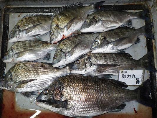 4月1日 磯釣りで陣内さん チヌ44㎝を頭に9匹