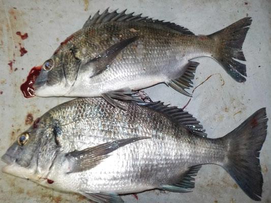 3月9日 磯釣りで村本さん メイタ2匹