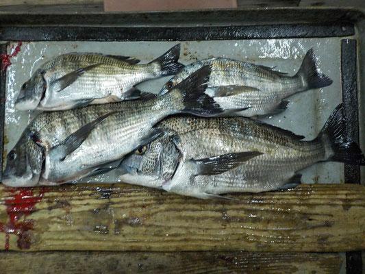 3月5日 磯釣りで前田さん 43㎝を頭に4匹