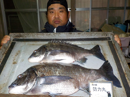 4月7日 磯釣りで渡辺さん 良型チヌ48.5㎝・41.5㎝
