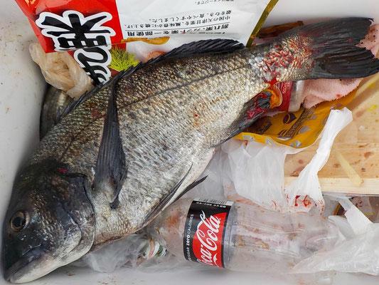 4月5日 磯釣りで川添さん 良型チヌ45㎝ アジ