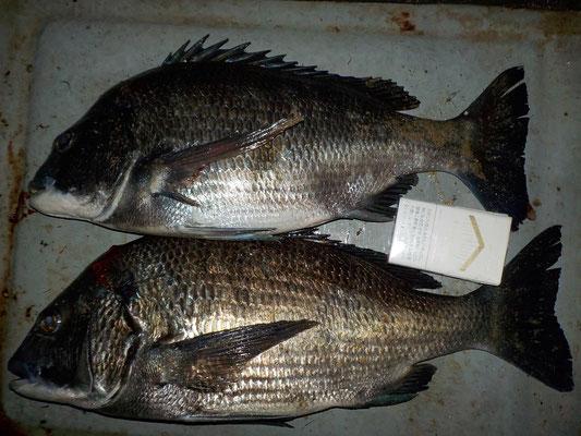 3月9日 磯釣りで中川さん 良型チヌ49.4㎝・45.3㎝