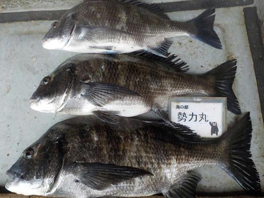 4月8日 磯釣りで山口さん チヌ43.5㎝を頭に3匹