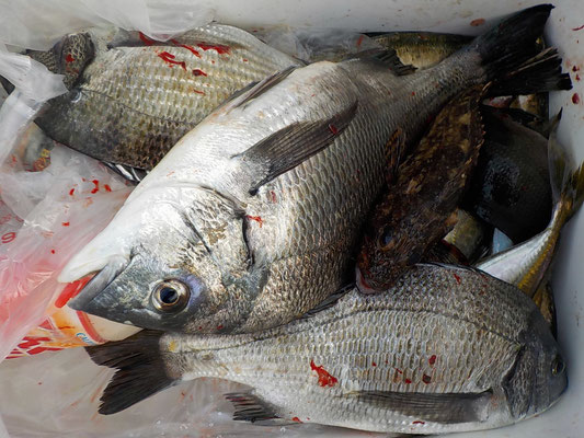 4月5日 磯釣りで高見さん チヌ、メイタ、クロ、アジ、ガラカブ
