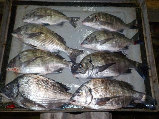4月1日 磯釣りで岩嶽さん チヌ、メイタ8匹