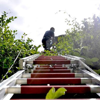 Beringung von Jungstörchen unter tatkräftiger Mithilfe der Feuerwehr Osnabrück