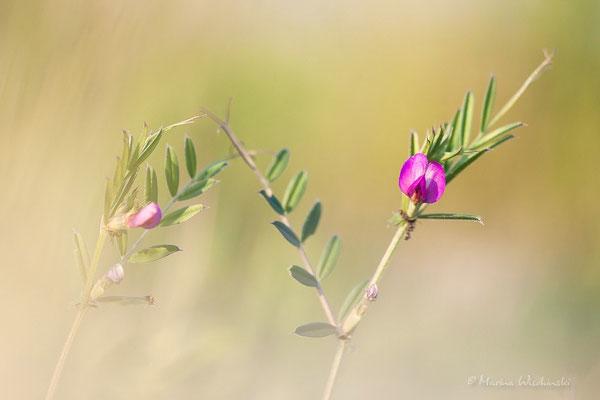 Schmalblättrige Wicke (Vicia angustifolia)