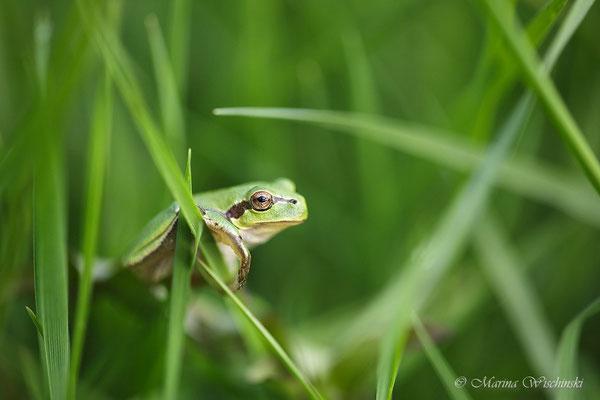 Europäischer Laubfrosch (Hyla arborea) im Gras