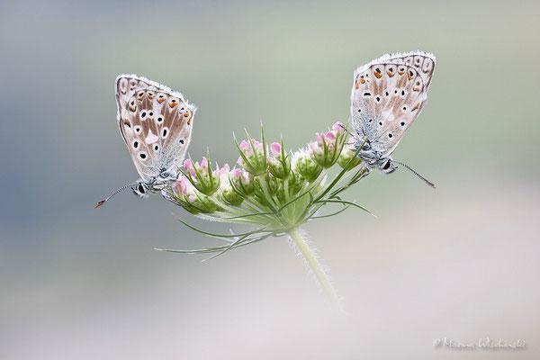 Himmelblaue Bläulinge (Polyommatus bellargus)