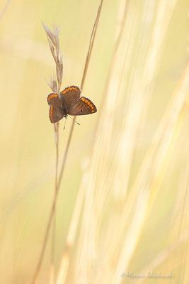 Kleiner Sonnenröschen-Bläuling (Aricia agestis)