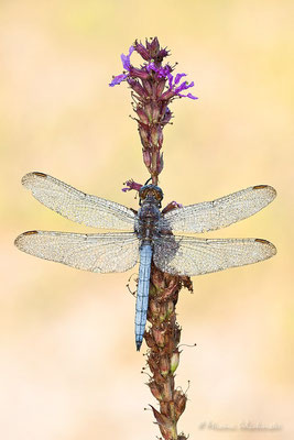 Kleiner Blaupfeil (Orthetrum coerulescens)