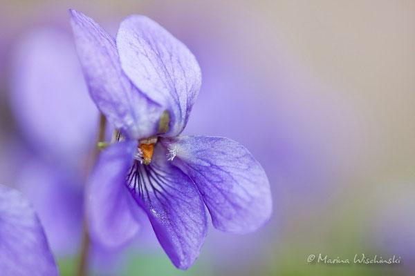 Veilchen (Viola)