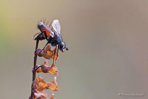 Raupenfliegen (Tachinidae)Fleischfliegen (Sarcophagidae)
