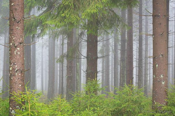 FIchtenwald im Nebel