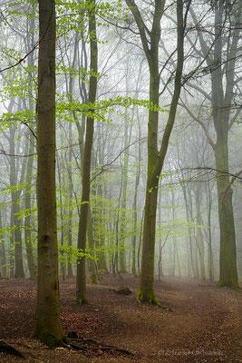 Nebel m Buchenwald