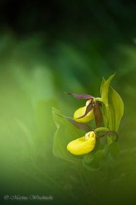 Gelber Frauenschuh (Cypripedium calceolus)