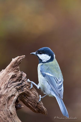 Kohlmeise (Parus major)