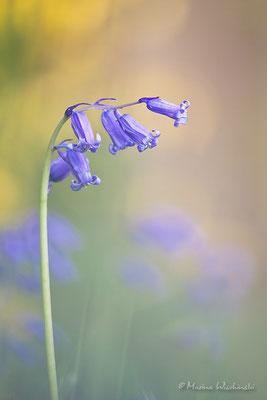 Hasenglöckchen (Hyacinthoides)