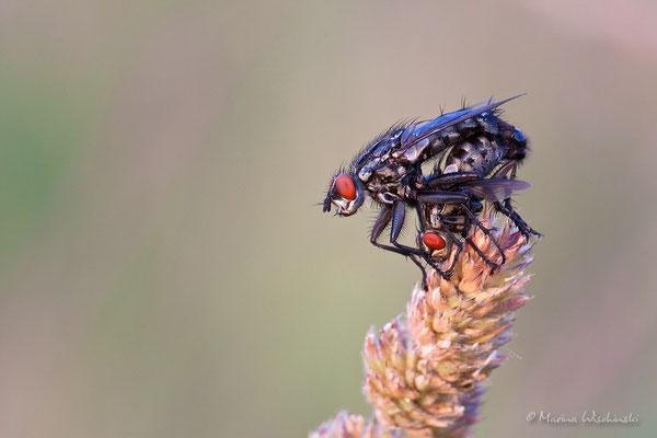 Fleischfliegen (Sarcophagidae)