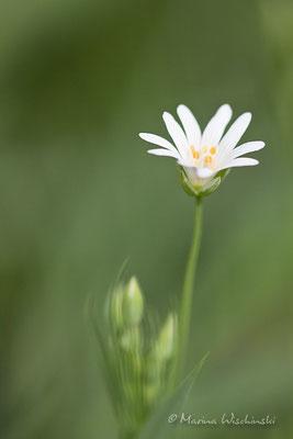 Sternmiere (Stellaria)