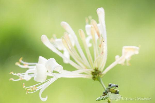Europäischer Laubfrosch (Hyla arborea) im Waldgeißblatt