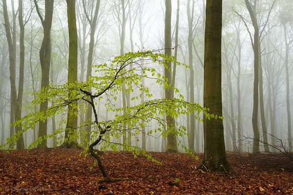 Buche im Nebelwald
