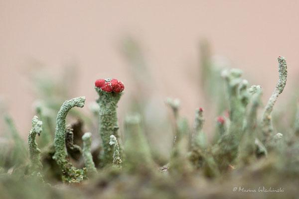 Flechten (Lichen) Cladonia