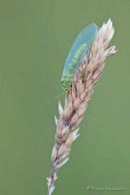 Florfliege (Chrysopidae)