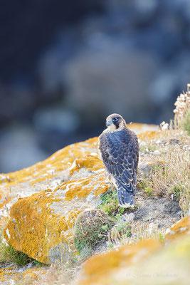Wanderfalke (Falco)