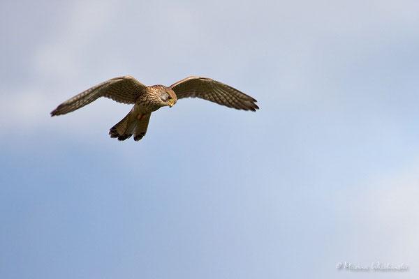 Turmfalke (Falco tinnunculus)