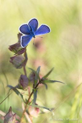Himmelblauer Bläuling (Polyommatus (Meleageria)