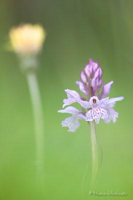 Geflecktes Knabenkraut (Dactylorhiza maculata)