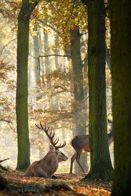 Rothirsch (Cervus elaphus) im Morgenlicht