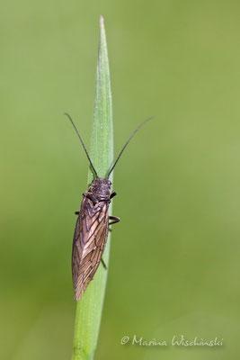 Schlammfliege (Sialidae)