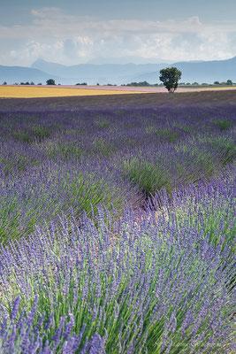 Lavendelfeld - Frankreich