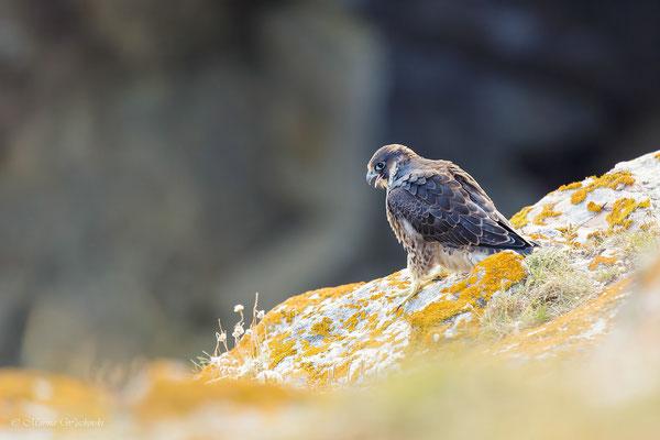 Falke (Falco)
