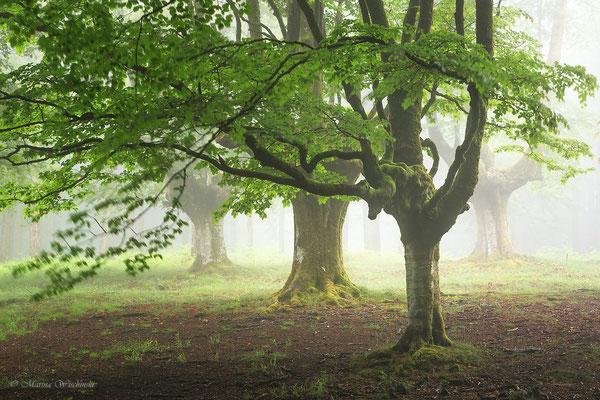 Bäume im Nebel Spanien