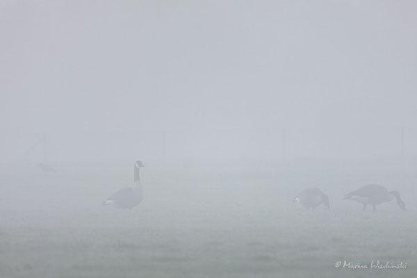Kanadagänse im Nebel...