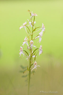 Waldhyazinthe (Platanthera)