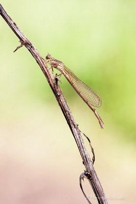Kleinlibelle
