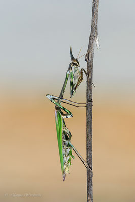 Haubenfangschrecke (Empusa pennata)