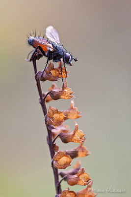 Raupenfliegen (Tachinidae)