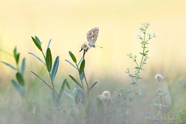 Bläuling  (Lycaenidae)  im Habitat