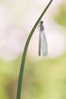 Frisch geschlüpfte Kleinlibelle