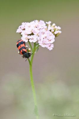 Zottiger Bienenkäfer(Trichodes alvearius)