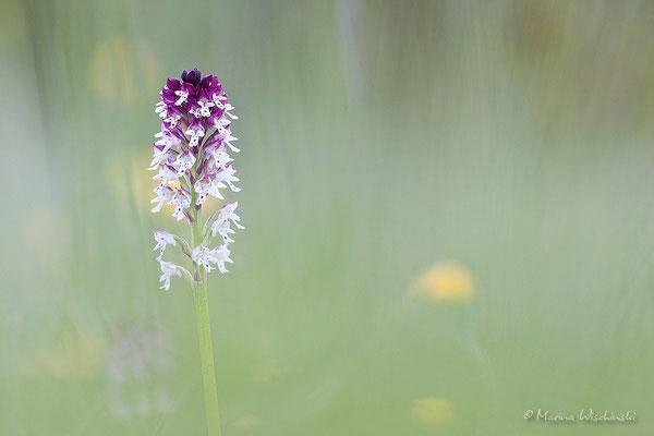 Brand-Knabenkraut (Orchis ustulata)