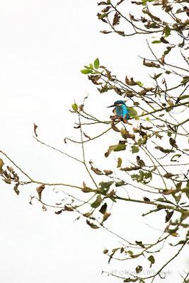 Eisvogel (Alcedo atthis) hoch im Baum