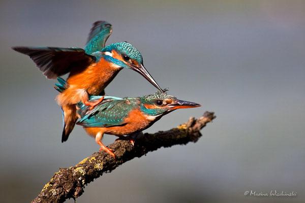 Eisvogel-Paarung (Alcedo atthis)