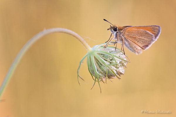 Dickkopffalter (Hesperiidae)